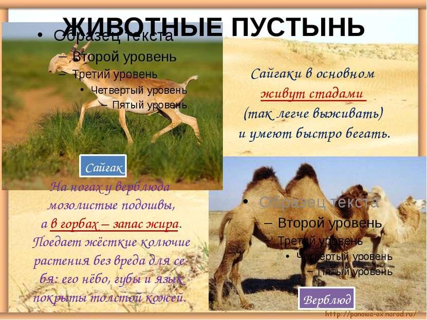 ЖИВОТНЫЕ ПУСТЫНЬ Сайгак Верблюд Сайгаки в основном живут стадами (так легче в...