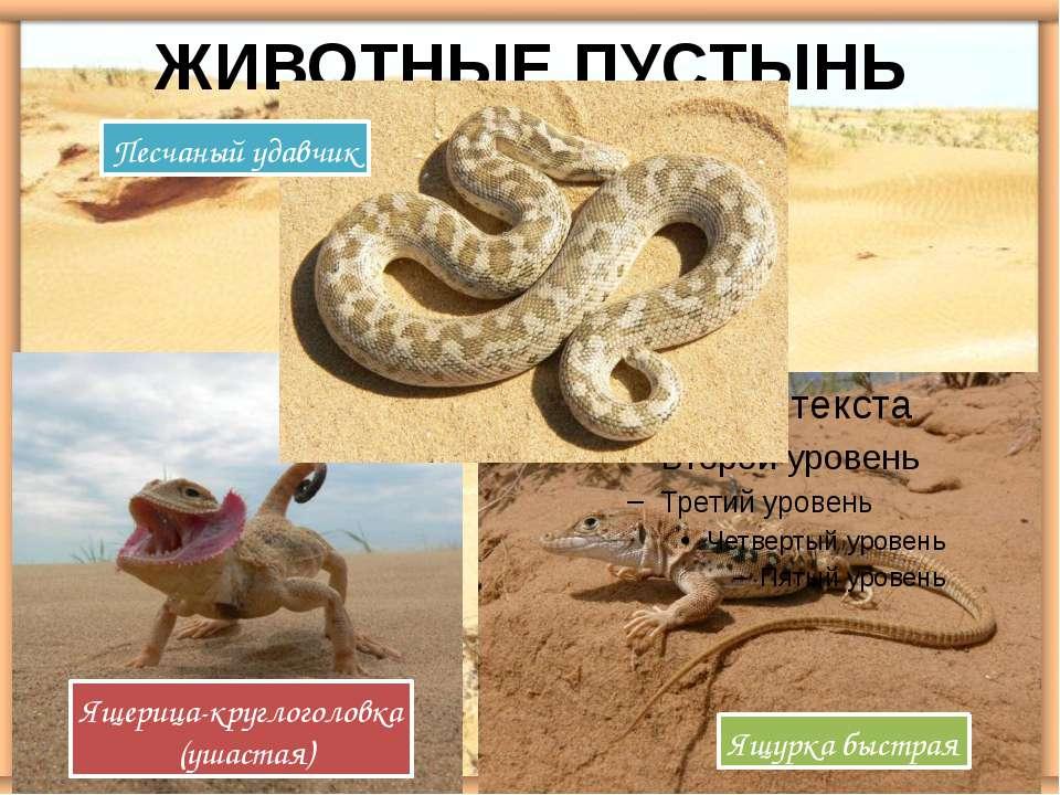 Ящерица-круглоголовка (ушастая) Ящурка быстрая ЖИВОТНЫЕ ПУСТЫНЬ Песчаный удавчик