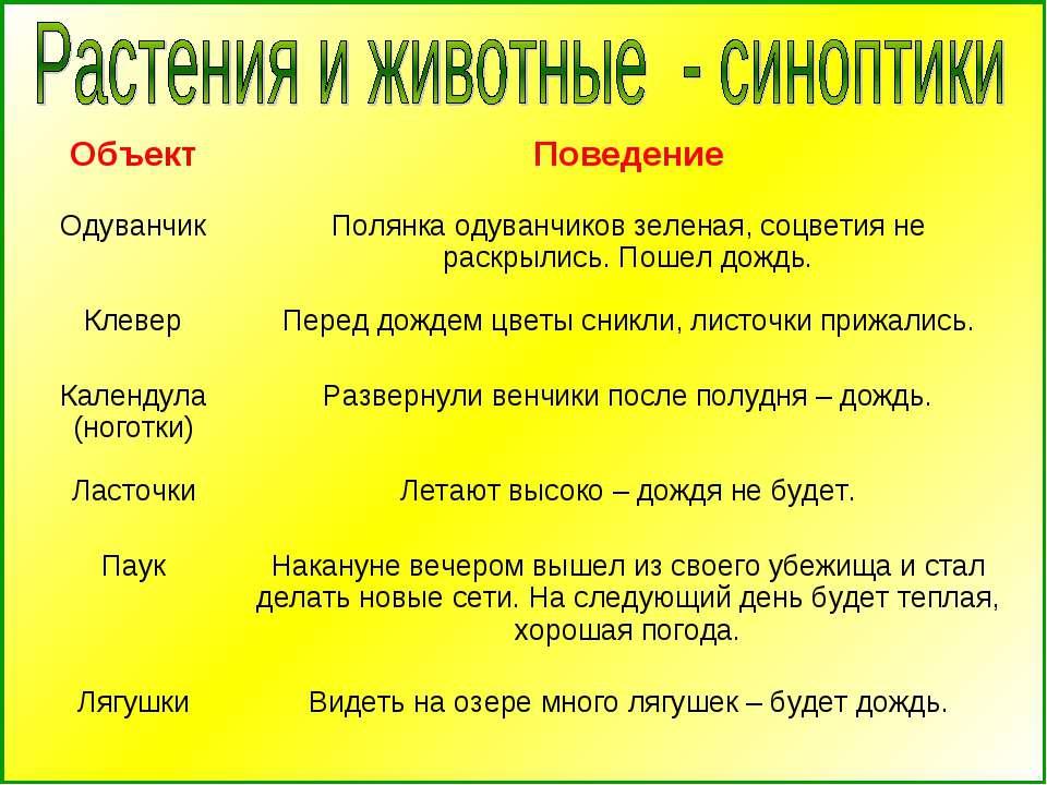 Объект Поведение Одуванчик Полянка одуванчиков зеленая, соцветия не раскрылис...