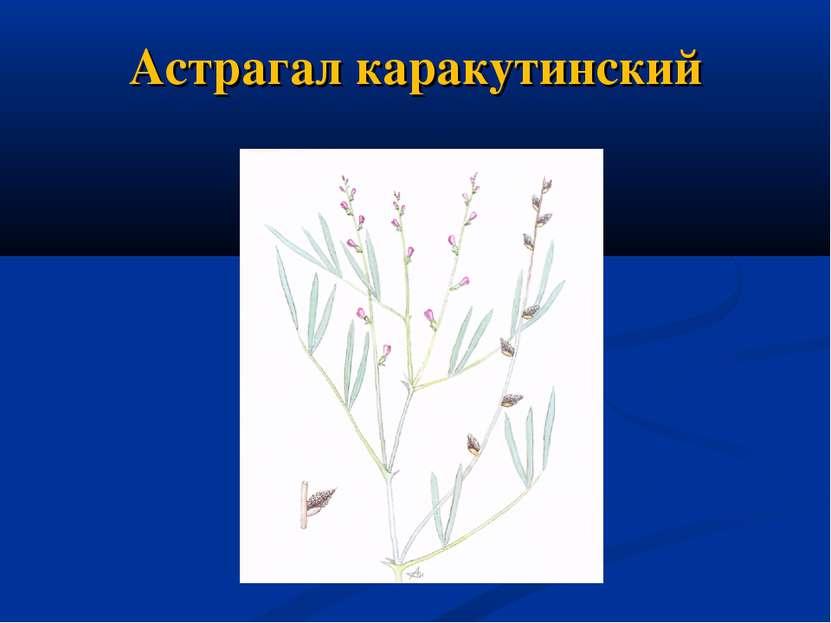 Астрагал каракутинский
