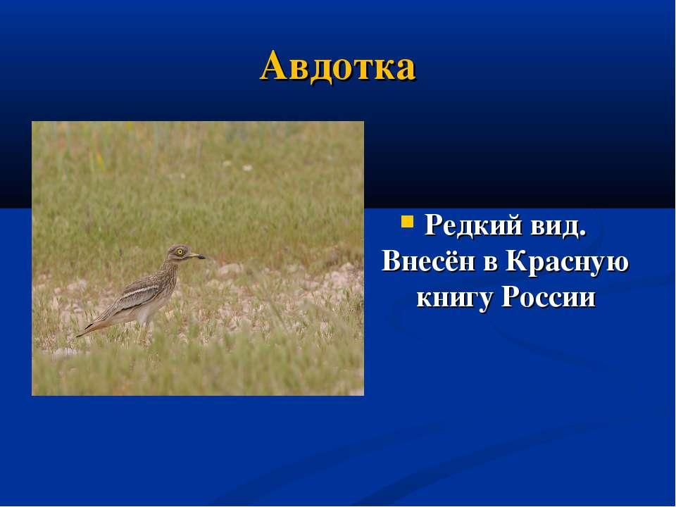 Авдотка Редкий вид. Внесён в Красную книгу России