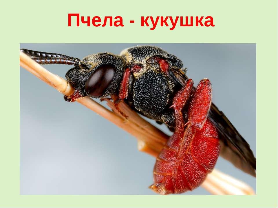 Пчела - кукушка