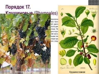 Порядок 17. Крушиновые(Rhamnales) Близок к порядку бересклетовых и имеет об...