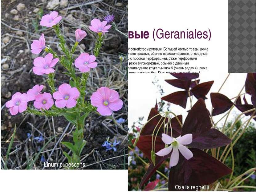 Порядок 10. Гераниевые(Geraniales) Обнаруживают ясно выраженные связи с поря...