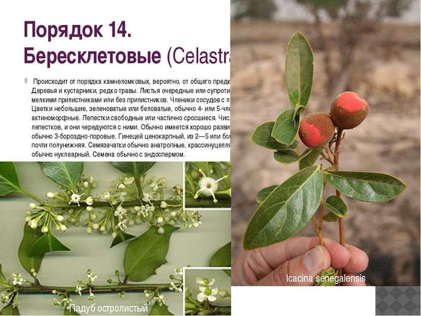 Порядок 14. Бересклетовые(Celastrales) Происходит от порядка камнеломковых,...