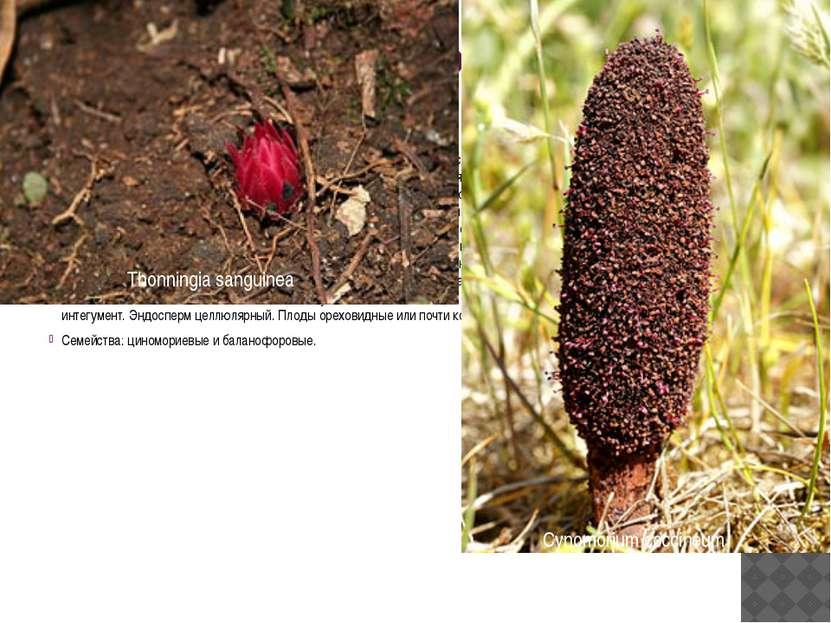 Порядок 16. Баланофоровые (Balanophorales) По всей вероятности, происходят от...