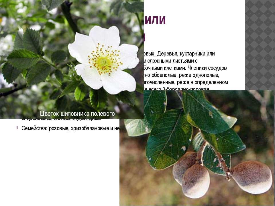Порядок 2. Розовые, или розоцветные(Rosales) Имеет общее происхождение с по...