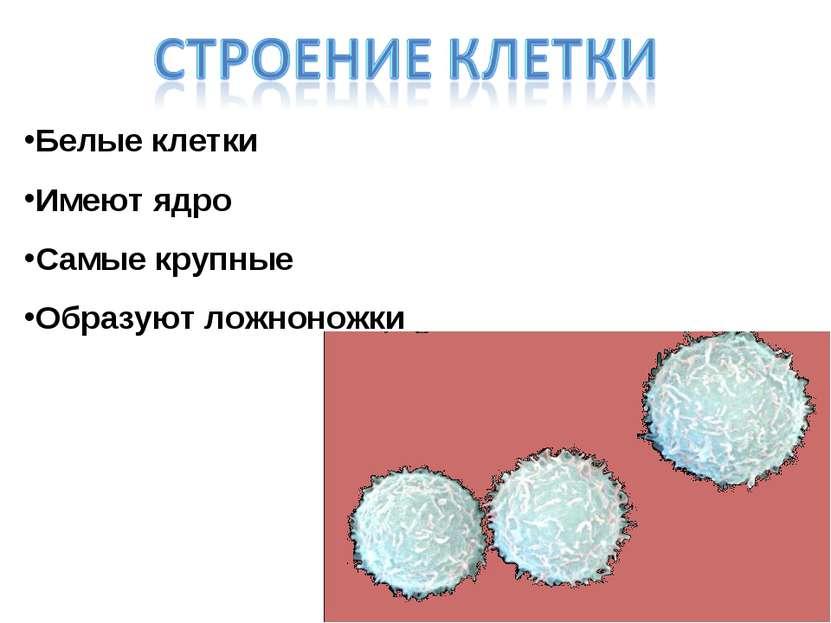 Белые клетки Имеют ядро Самые крупные Образуют ложноножки
