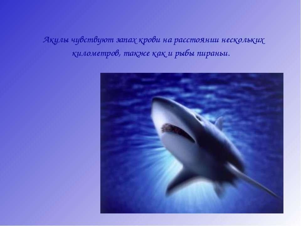 Акулы чувствуют запах крови на расстоянии нескольких километров, также как и ...