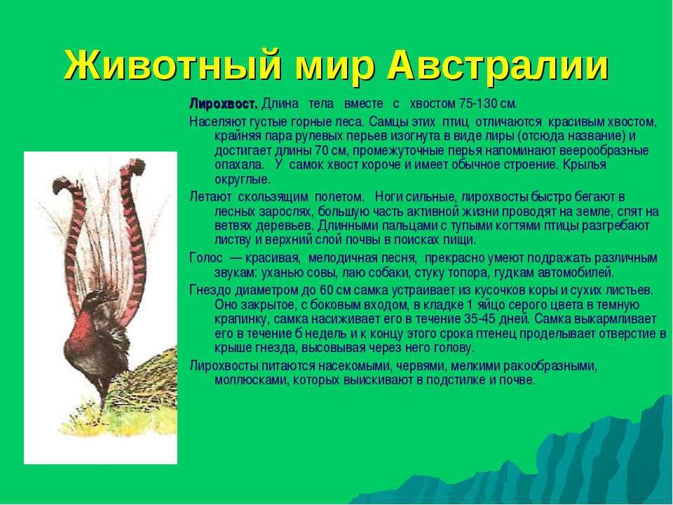 Животный мир Австралии Лирохвост. Длина тела вместе с хвостом 75-130 см. Насе...