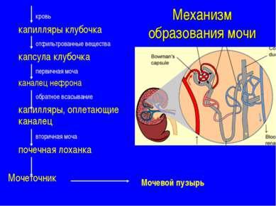 Механизм образования мочи кровь капилляры клубочка отфильтрованные вещества к...