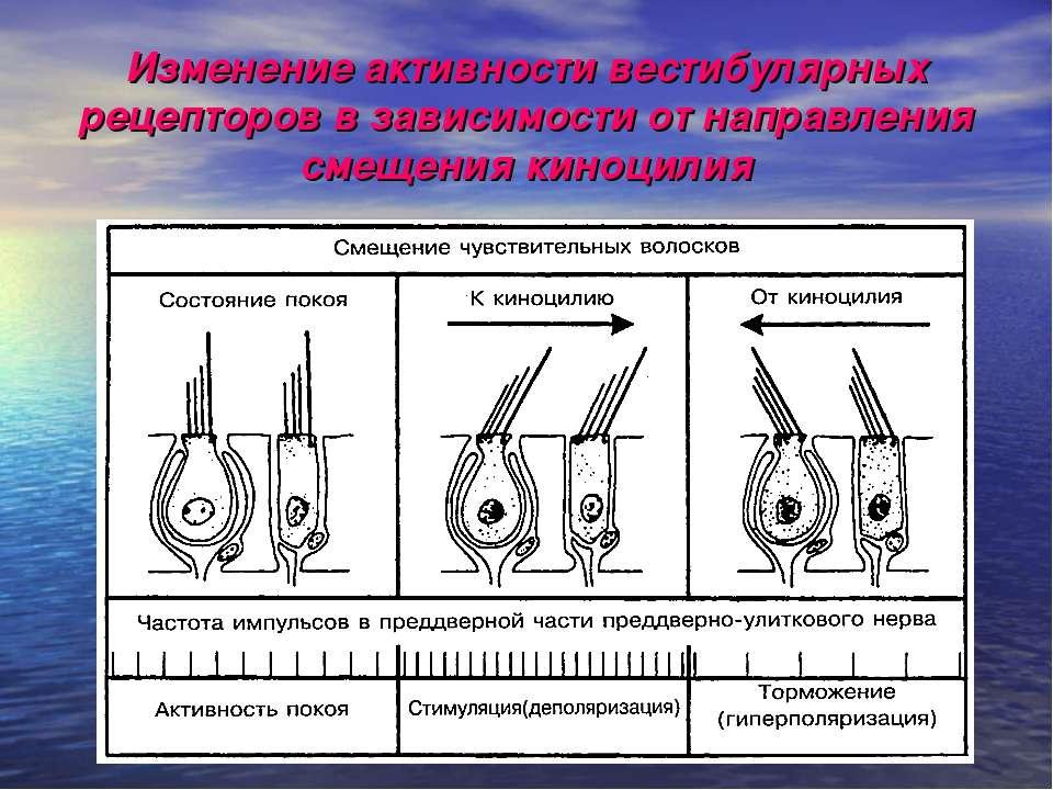 Изменение активности вестибулярных рецепторов в зависимости от направления см...
