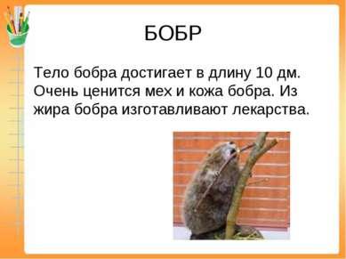 БОБР Тело бобра достигает в длину 10 дм. Очень ценится мех и кожа бобра. Из ж...