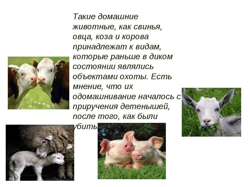 Такие домашние животные, как свинья, овца, коза и корова принадлежат к видам,...