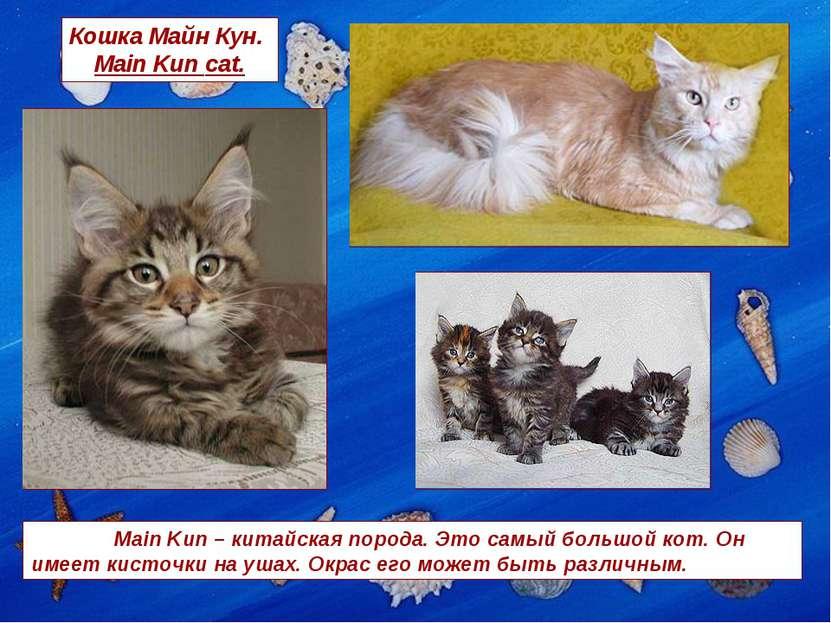 Кошка Майн Кун. Main Kun cat. Main Kun – китайская порода. Это самый большой ...