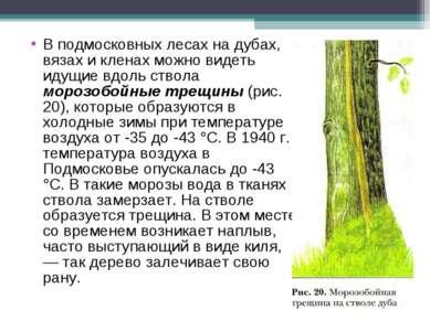 В подмосковных лесах на дубах, вязах и кленах можно видеть идущие вдоль ствол...