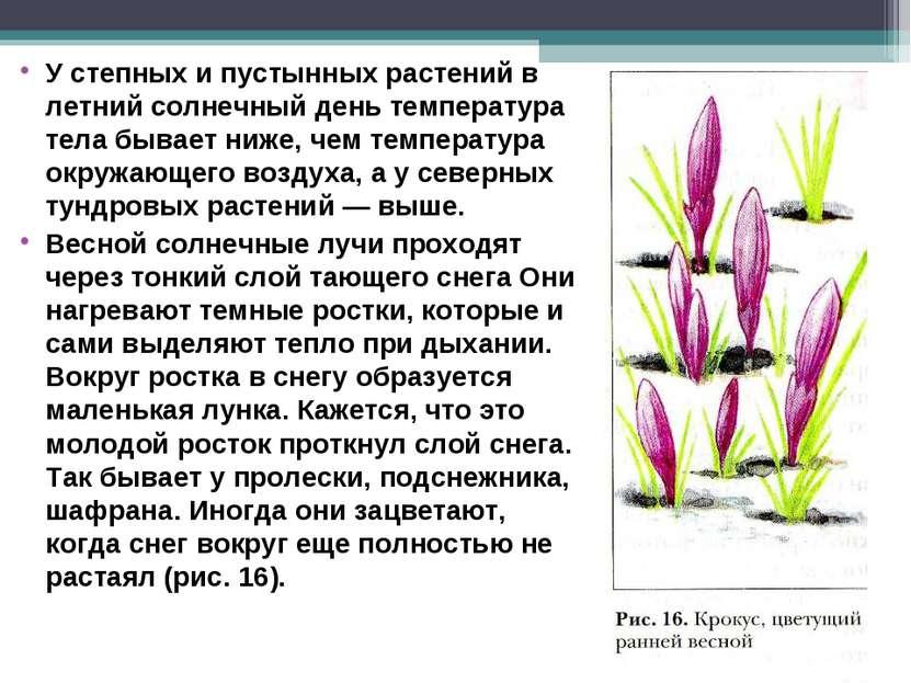 У степных и пустынных растений в летний солнечный день температура тела бывае...