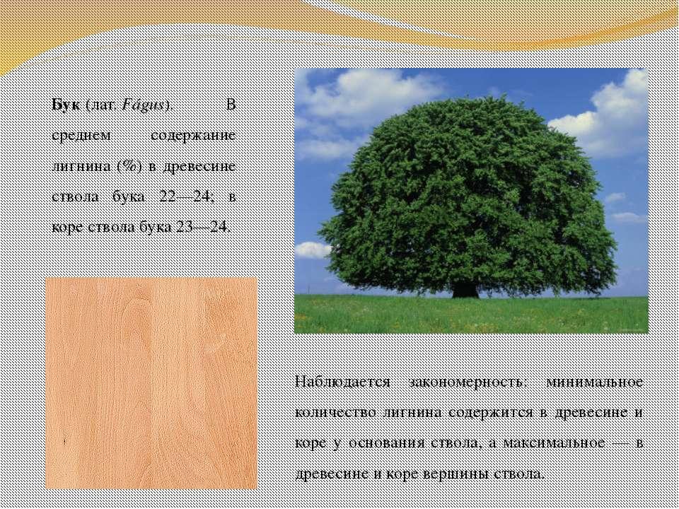 Бук(лат.Fágus). В среднем содержание лигнина (%) в древесине ствола бука 22...