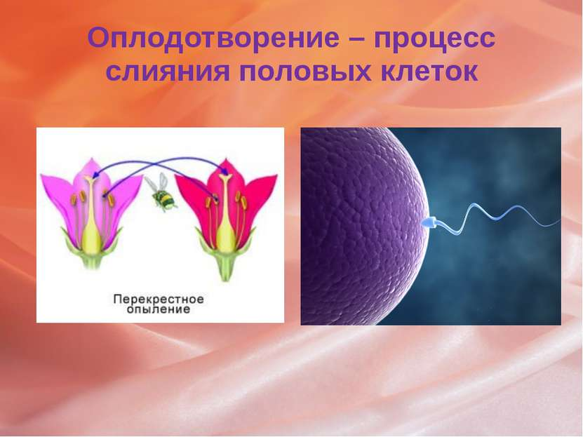 Оплодотворение – процесс слияния половых клеток