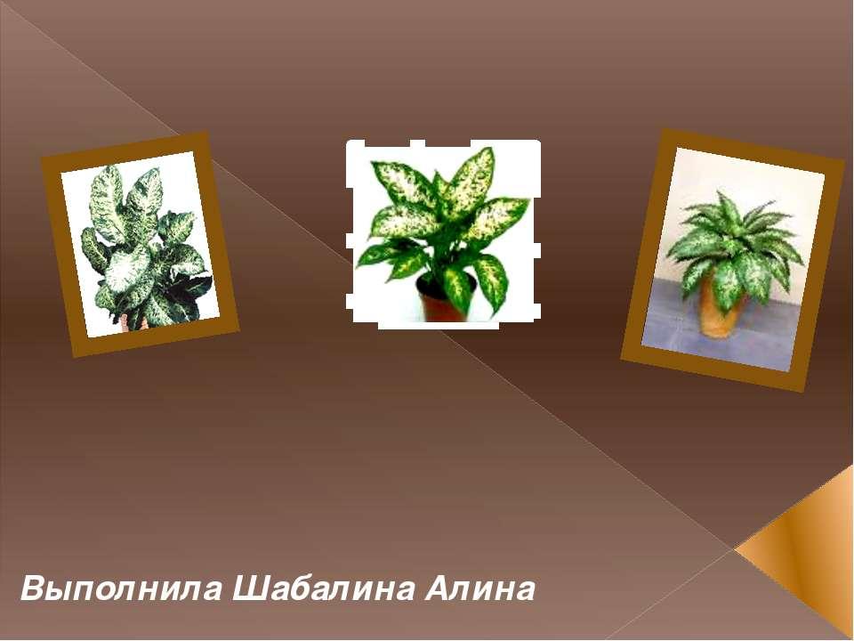 Комнатные растения Диффенбахия Выполнила Шабалина Алина