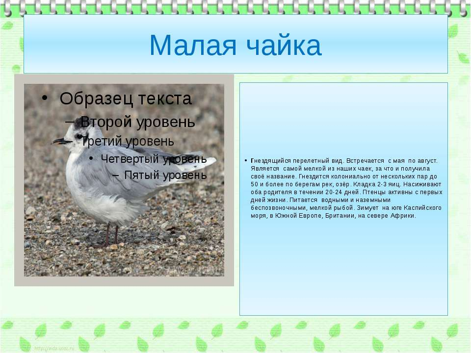 Малая чайка Гнездящийся перелетный вид. Встречается с мая по август. Является...