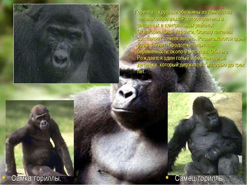 Горилла – крупные обезьяны из семейства человекообразных. Распространены в за...