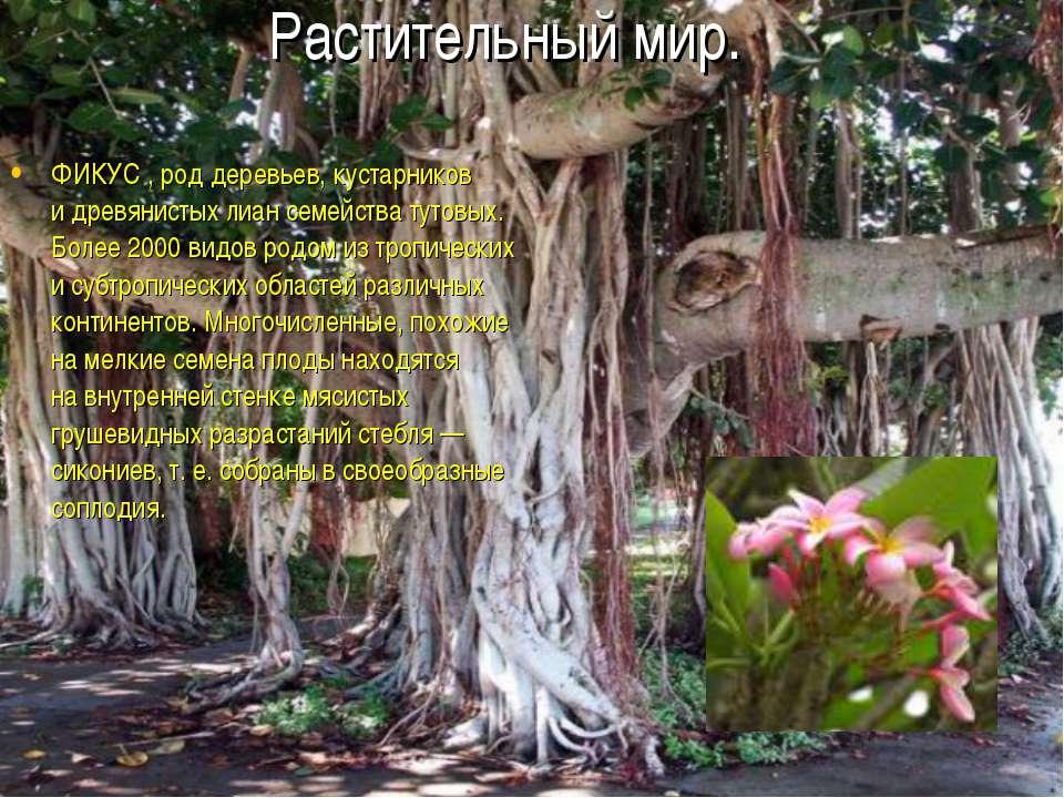 ФИКУС , род деревьев, кустарников идревянистых лиан семейства тутовых. Более...