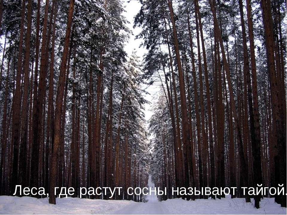 Леса, где растут сосны называют тайгой.