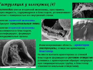 Гаструляция у иглокожих (4) Филоподии клеток вторичной мезенхимы, простираясь...