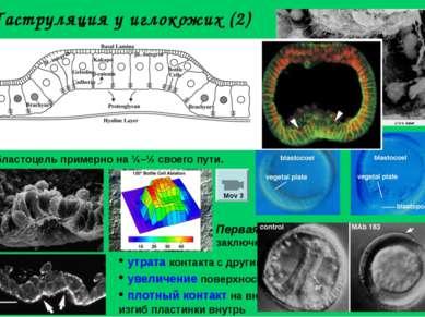 Гаструляция у иглокожих (2) Миграция первичных мезенхимных клеток по внеклето...