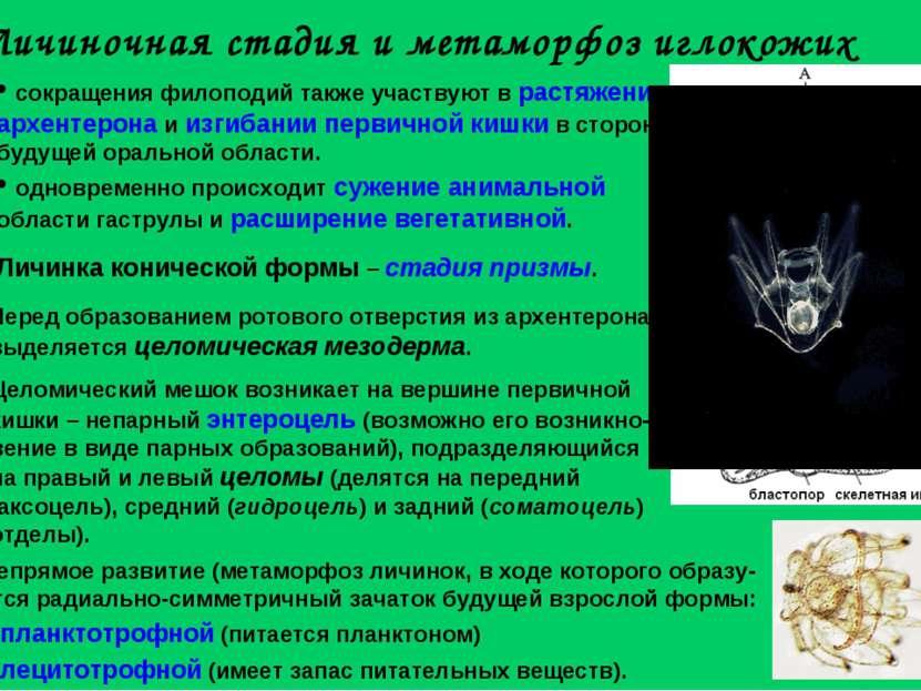 Личиночная стадия и метаморфоз иглокожих Личинка конической формы – стадия пр...