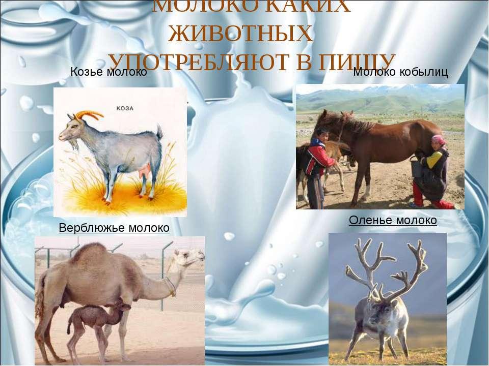 МОЛОКО КАКИХ ЖИВОТНЫХ УПОТРЕБЛЯЮТ В ПИЩУ Козье молоко Молоко кобылиц Верблюжь...