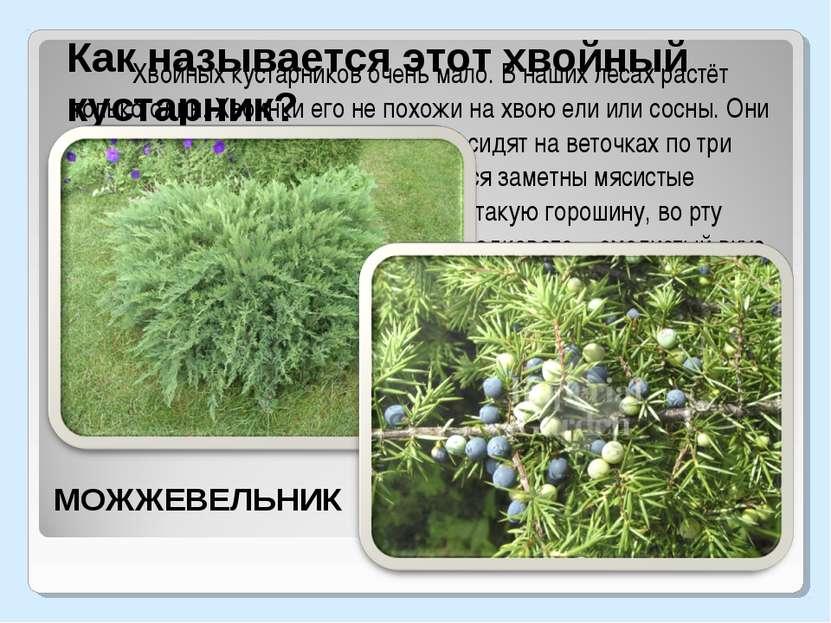 Хвойных кустарников очень мало. В наших лесах растёт только один. Хвоинки его...