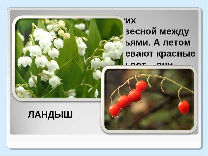 Гирлянды маленьких колокольчиков висят весной между остроконечными листьями. ...