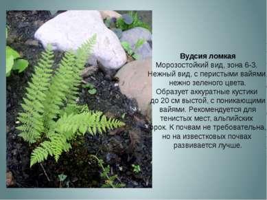 Вудсия ломкая Морозостойкий вид, зона 6-3. Нежный вид, с перистыми вайями, не...