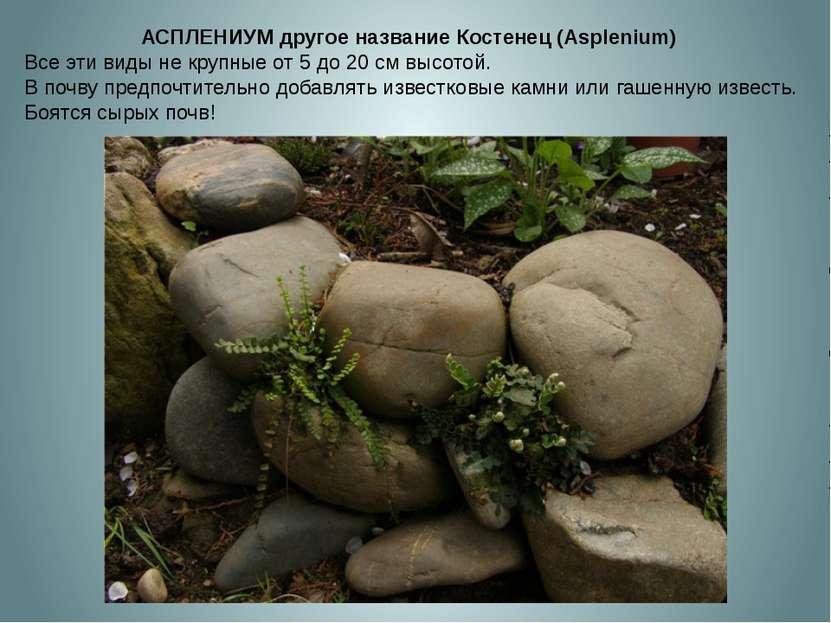 АСПЛЕНИУМ другое название Костенец (Asplenium) Все эти виды не крупные от 5 д...