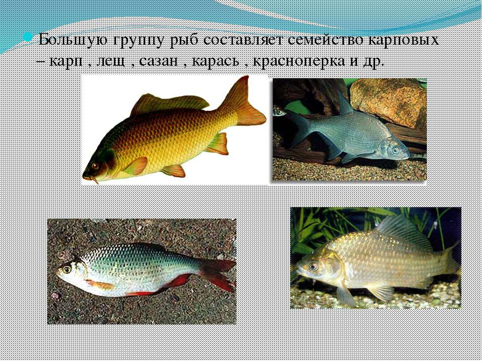 Большую группу рыб составляет семейство карповых – карп , лещ , сазан , карас...