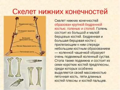 Скелет нижних конечностей Скелет нижних конечностей образован крупной бедренн...