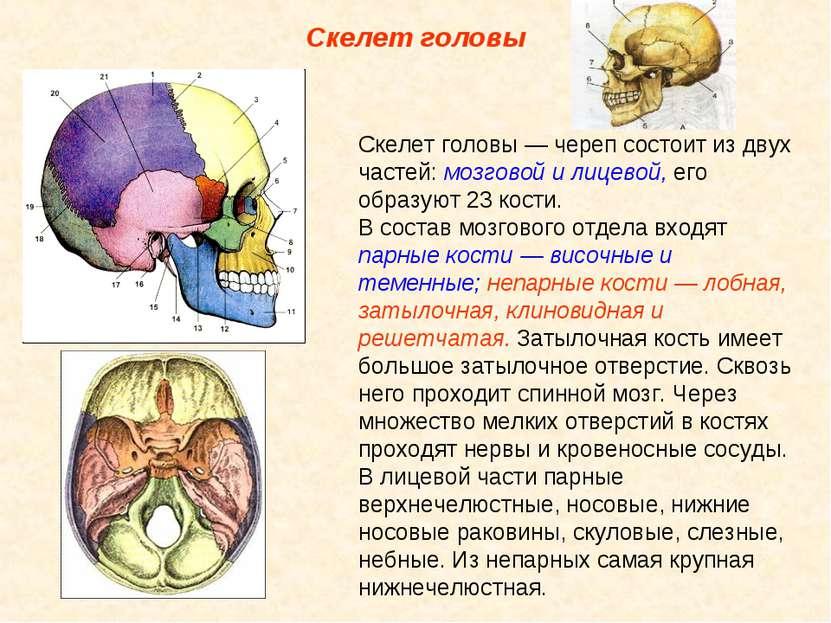 Скелет головы Скелет головы — череп состоит из двух частей: мозговой и лицево...