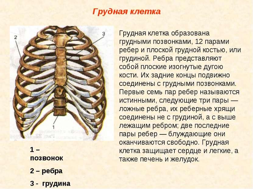 Грудная клетка Грудная клетка образована грудными позвонками, 12 парами ребер...