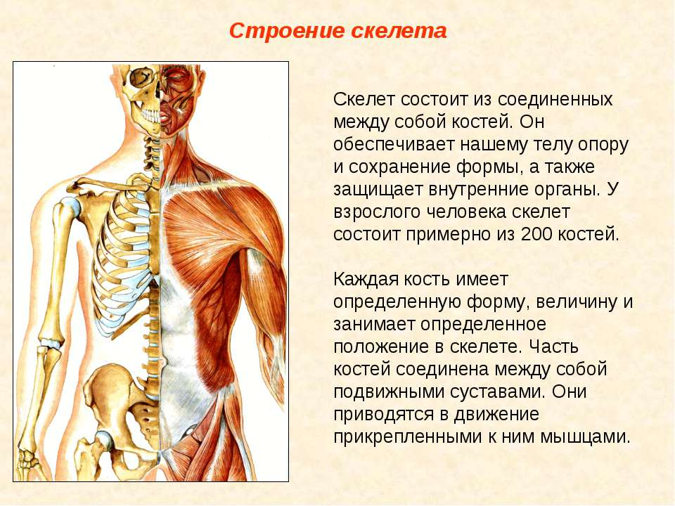 Строение скелета Скелет состоит из соединенных между собой костей. Он обеспеч...