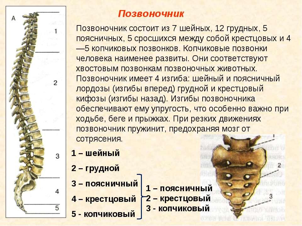 Позвоночник Позвоночник состоит из 7 шейных, 12 грудных, 5 поясничных, 5 срос...