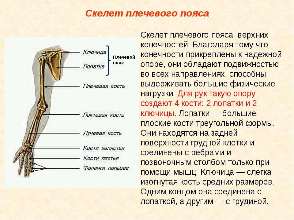 Скелет плечевого пояса Скелет плечевого пояса верхних конечностей. Благодаря ...