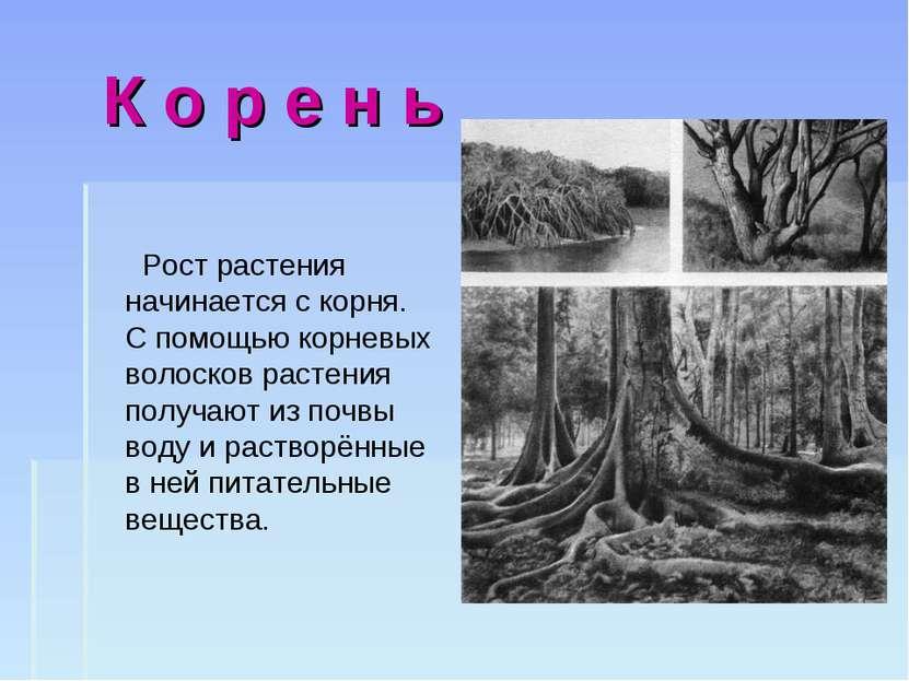 К о р е н ь Рост растения начинается с корня. С помощью корневых волосков рас...