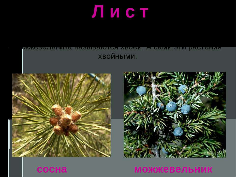 Л и с т Разнообразны и листья растений. Листья сосны и можжевельника называют...