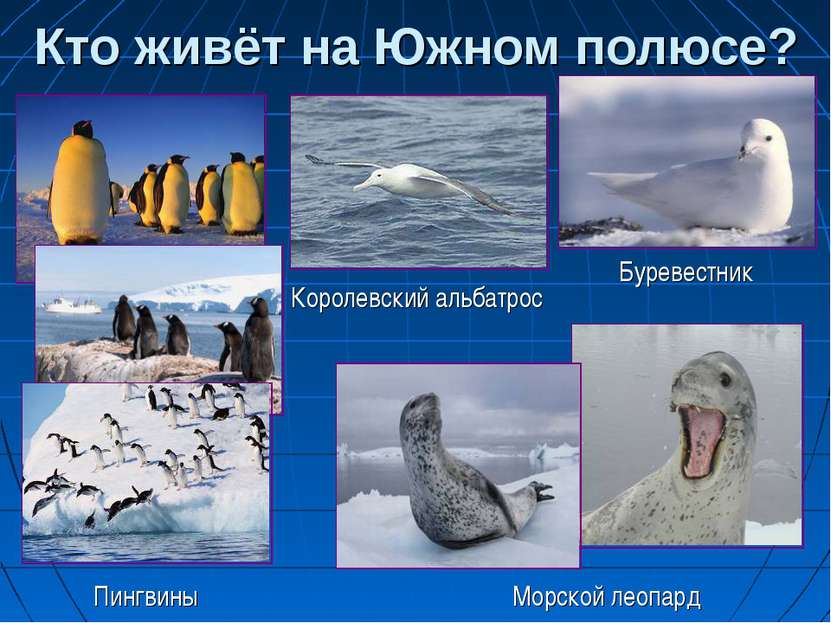 Кто живёт на Южном полюсе? Морской леопард Буревестник Королевский альбатрос ...