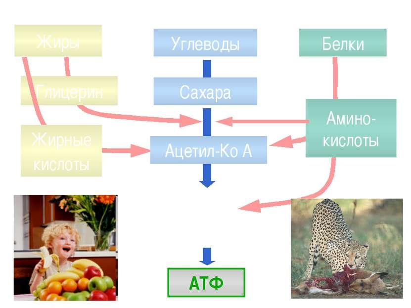 Жиры Белки Углеводы АТФ Глицерин Жирные кислоты Амино-кислоты Сахара Ацетил-Ко А