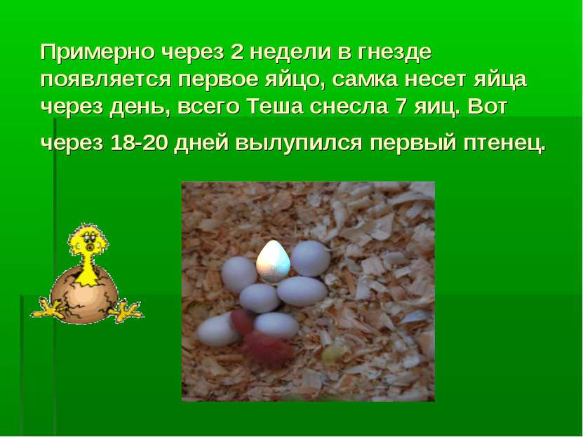Примерно через 2 недели в гнезде появляется первое яйцо, самка несет яйца чер...