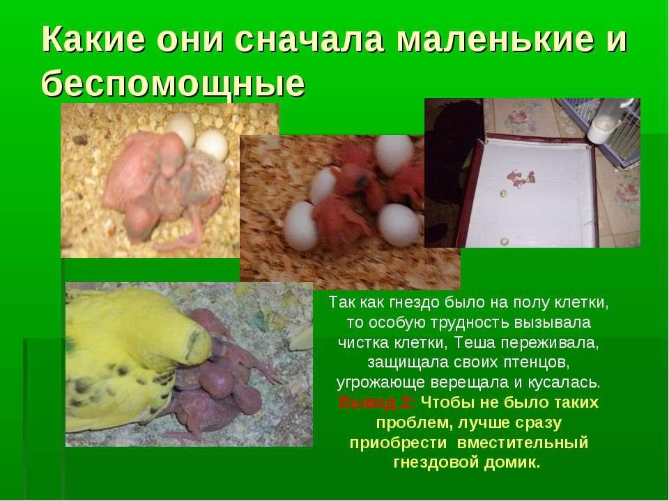 Какие они сначала маленькие и беспомощные Так как гнездо было на полу клетки,...