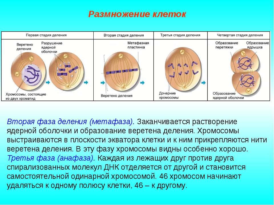 Размножение клеток Вторая фаза деления (метафаза). Заканчивается растворение ...